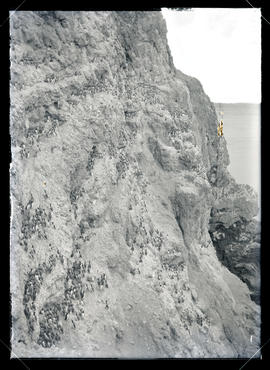 Murre Colonies on Shag Rock