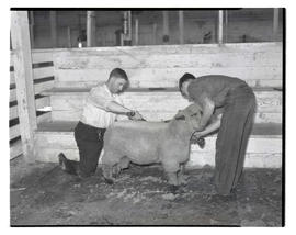 Two people trimming sheep