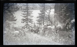 Pack horses at Pass Creek