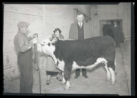 Man and woman posing in barn with heifer or steer