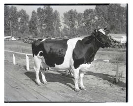Cow, possibly at livestock show