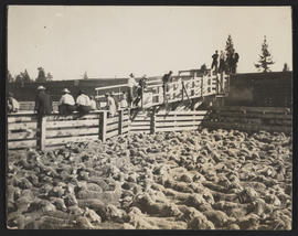 Loading sheep onto train
