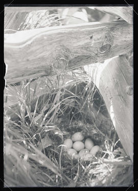 Mallard Nest and Eggs