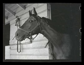 Horse in stall, possibly at county fair