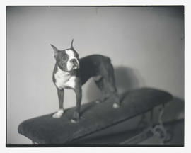Boston terrier on bench