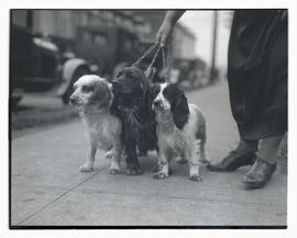 Three dogs on leashes