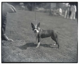 Boston terrier on leash