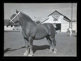 Draft horse, possibly at county fair