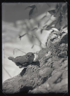 Spotted Canyon Wren