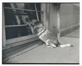 Dog leaning on bar across window