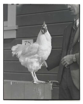 Chicken, probably at Pacific International Livestock Exposition