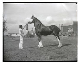 Man with draft horse