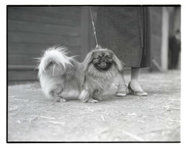 Pekingese, possibly at livestock show