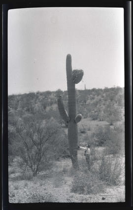Red-tailed hawk's nest in a saguaro