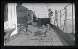 Gulls on the MV Westward