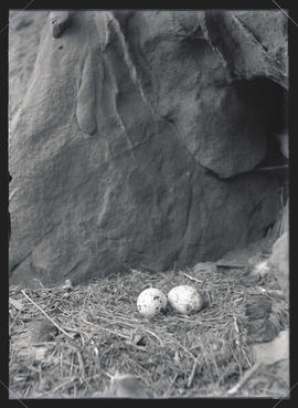 Turkey Vulture Nest and Eggs