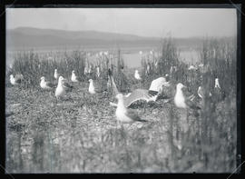 Gulls Among the Tules