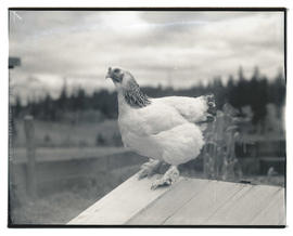 Chicken perched on wooden structure