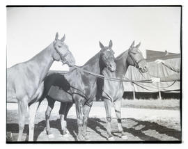 Three horses, probably at livestock show
