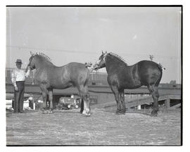 Unidentified handlers with two Percherons, probably at Pacific International Livestock Exposition