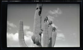 Red-tailed hawks on a saguaro