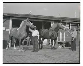 Two unidentified men with Percherons, probably at Pacific International Livestock Exposition