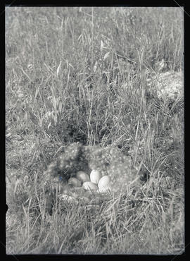 Pintail Nest and Eggs