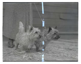 Two dogs, probably at Pacific International Livestock Exposition