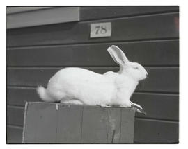Rabbit, probably at Pacific International Livestock Exposition
