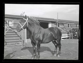 Senator Diplomat Brown, grand champion Percheron stallion