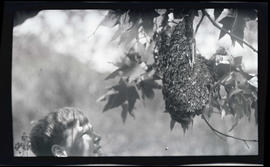 R. Morgan? standing beside a bee swarm on a branch