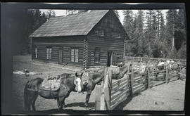 Pack horses at Wentworth Ranch