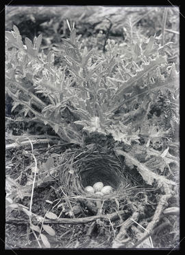 Shefeldt's Junco Nest