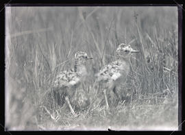 Long-Billed Curlews