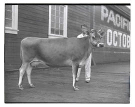 Heifer or cow at livestock show