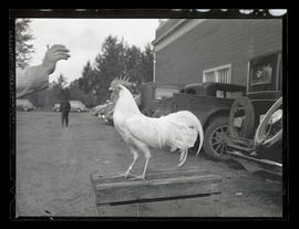 Rooster, probably at Pacific International Livestock Exposition