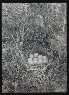 China Pheasant Nest