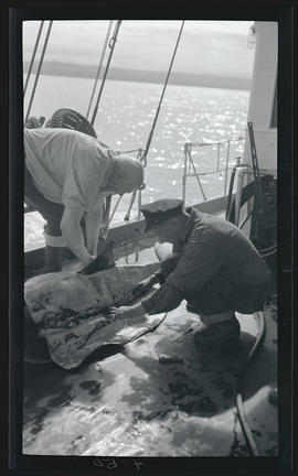 Skinning a porpoise on the deck of the Westward