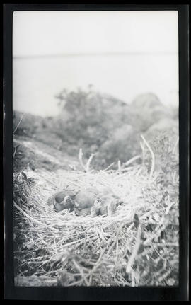 Goose chicks in nest