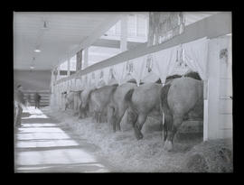 Horses in stable, probably at Pacific International Livestock Exposition