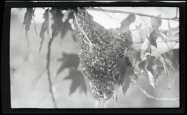 Bee swarm on a branch