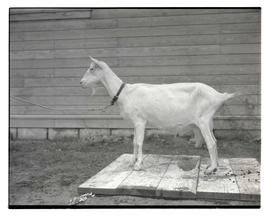 Goat, probably at livestock show