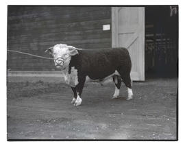 Young bull, probably at livestock show