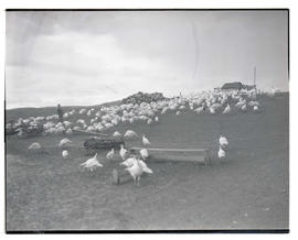 Flock of turkeys in field