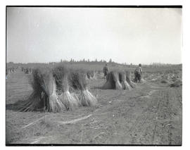 Sheaves of flax?