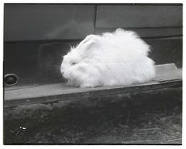 Rabbit, probably at livestock show