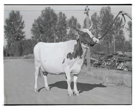Cow, probably at Pacific International Livestock Exposition