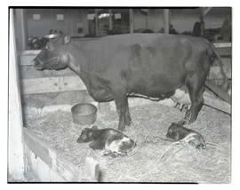 Cow in stall with two calves