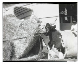 Bull, possibly at county fair