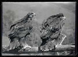 A Pair of Young Golden Eagles